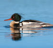 Red-breasted Merganser (Male,ITALY)