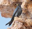 Sooty Falcon (EGYPT)