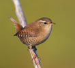 Winter Wren (ITALY)