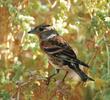Brambling (Non-breeding plumage)