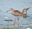 Common Redshank (Non - breeding)