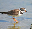 Common Ringed Plover (Spring)
