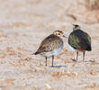 Eurasian Golden Plover (Adult or immature winter with Northern Lapwing)