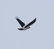 Mesopotamian Crow