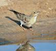 Pale Rockfinch