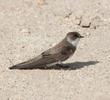 Sand Martin (Juvenile)