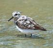 Sanderling (Juvenile)
