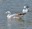 Slender-billed Gull (Juveniles)