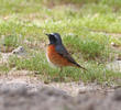 Common Redstart (Male spring)