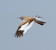 Greater Hoopoe-Lark in flight