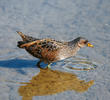 Spotted Crake (Immature winter)