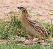 Common Quail - Female
