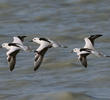 Crab-plovers
