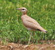 Cream-coloured Courser (Juvenile)