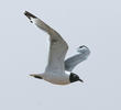 Franklin's Gull (Summer)