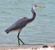 Indian Reef Heron (Immature dark morph)