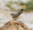 Kurdistan Wheatear (Female)