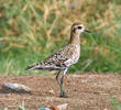 Pacific Golden Plover (Non - breeding autumn)