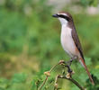 Turkestan Shrike (male)