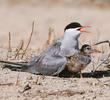 White-cheeked Tern (With fledgling)