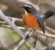 White-throated Robin (Male)