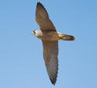 Barbary Falcon (Immature - UAE)