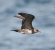 Long-tailed Skua (Immature, UAE)