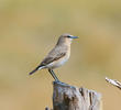 Isabelline Wheatear (Winter)