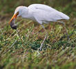 Western Cattle Egret (eating mouse)