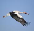 Western White Stork