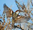 Spanish Sparrow (Male)