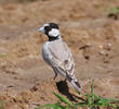 Black-crowned Sparrow-Lark (Male)