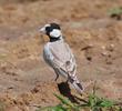 Black-crowned Sparrow-Lark (Male)