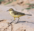 Blue-headed Wagtail (Female or immature)