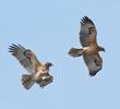 Bonelli's Eagle (Immatures)