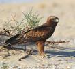 Booted Eagle (Dark morph)