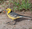 Citrine Wagtail (Male spring)