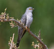 Common Cuckoo (Male)