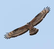 Crested Honey Buzzard (Aberrant plumage, possibly a hybrid)
