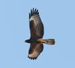 Crested Honey Buzzard (Dark morph)