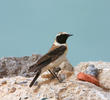 Eastern Black-eared Wheatear (Male)
