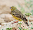 Eastern Cinereous Bunting (Male breeding plumage)