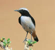Eastern Mourning Wheatear (Male)