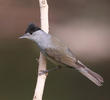 Eurasian Blackcap (Male)
