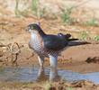 Eurasian Sparrowhawk (Male)