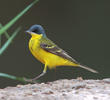 Grey-headed Wagtail (Male)