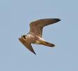 Peregrine Falcon (Immature)
