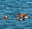 Red-crested Pochard (Males and females)