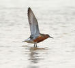 Red Knot (Breeding plumage)