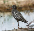 Spotted Redshank (Breeding plumage)